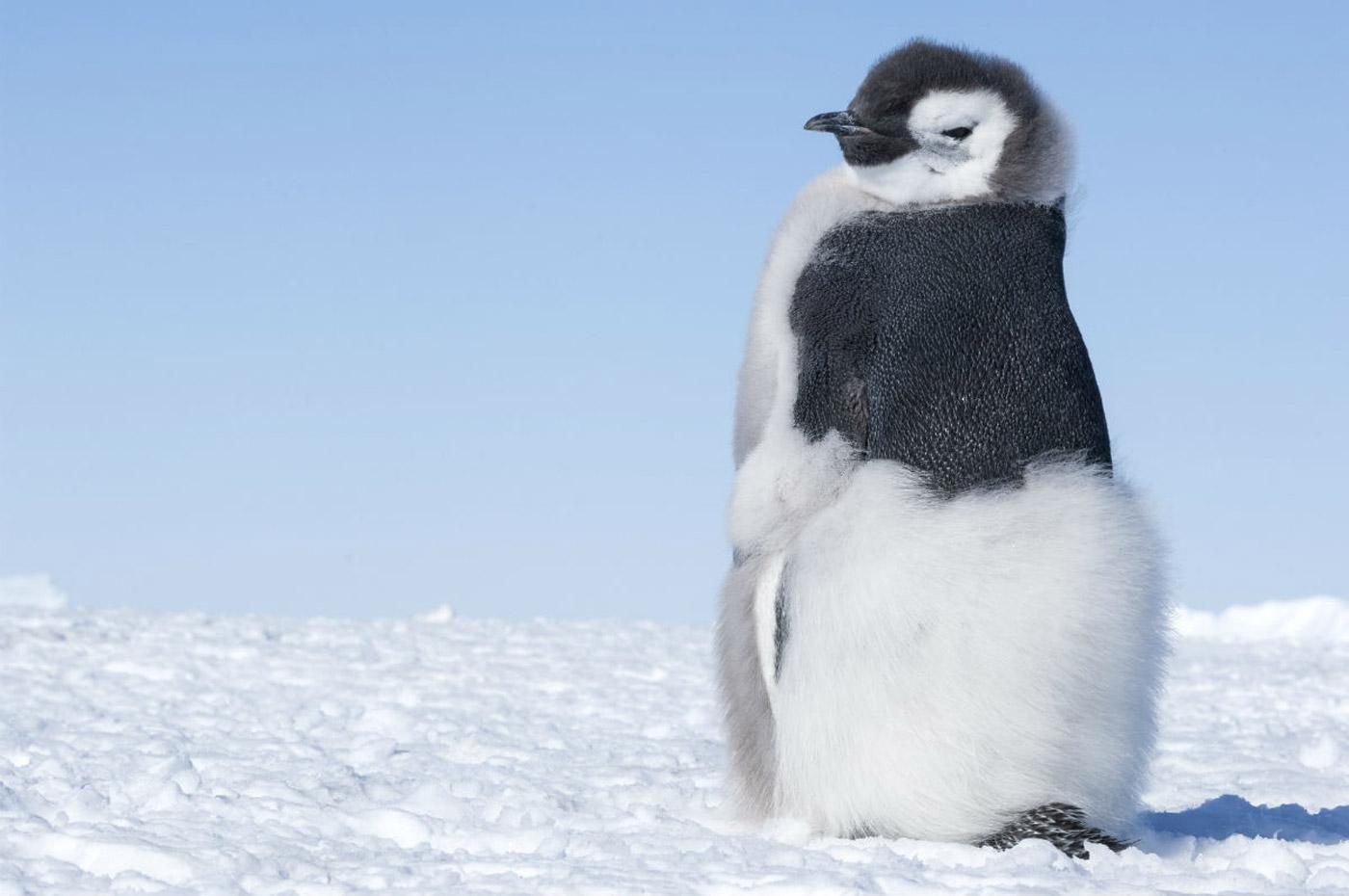 La marcia dei pinguini il richiamo cineclandestino for Ti richiamo