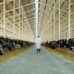 Un'inquietante immagine dal documentario The Milk System di Andreas Pichler (Das System Milch, Italia, Germania 2017)