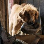 Ancora Bailey in versione cucciola in Qua la zampa di Lasse Hallström (A Dog's Purpose, USA 2017)