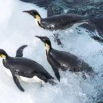 Pinguini in acqua durante La marcia dei pinguini - Il richiamo di Luc Jacquet (L'empereur, Francia 2017)