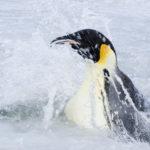 La bellezza del pinguino imperatore ne La marcia dei pinguini - Il richiamo di Luc Jacquet (L'empereur, Francia 2017)