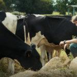 Swann Arlaud tra le amate mucche in Petit paysan di Hubert Charuel (Francia, 2017)