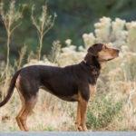 Ancora un'immagine di Bella, protagonista di Un viaggio a quattro zampe di Charles Martin Smith (A Dog's Way Home, USA 2019)