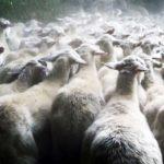 Allevamento di pecore in Lorello e Brunello di Jacopo Quadri (Italia, 2017)